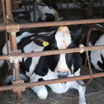 30065364 - 店の横にいる牛さん