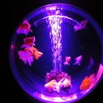 アートアクアリウム - (金魚コレクション)ブロードテール琉金