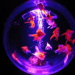 アートアクアリウム - (金魚コレクション)琉金
