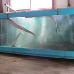 新島水産 - 内観写真:鱧が入れられた水槽のアップ