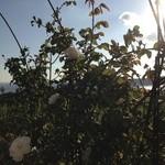 30842393 - 秋バラが美しい