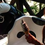 アケイシアファーム - ちよっとわかりにくいんですが、白黒の牛柄です