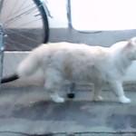 グルービー - ネコさんの居る店前を猫さんが通ります、なかなかの貫禄