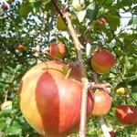 山本観光果樹園 - りんご〜♪ フジ、これがきっとアップルパイに!(興奮)