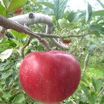 山本観光果樹園 - りんご^^ 真っ赤です^^