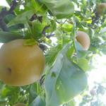 山本観光果樹園 - 和梨/赤