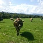 31025995 - ちょうどお昼時。牛たちは草を食んでいます。
