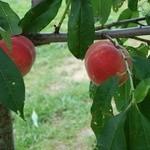 山本観光果樹園 - 終わりの桃