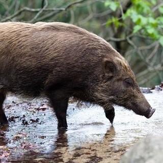 日本のジビエ【炉とマタギ】のこだわり食材【猪】