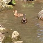 湯野温泉 紫水園 - 鴨も泳いでいる、お店の池