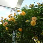 31637054 - 黄色いバラも!(^^)!