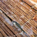 杉ケ瀬ヤナ - 2014.10 ヤナに捕獲された天然鮎
