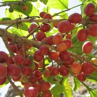 珈琲は果実。