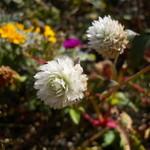 伊勢屋 - 呑川沿いに咲く花
