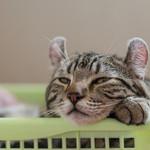 ラグドール - ネコちゃん。のんきなもんやで