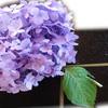 Aguu - 料理写真:3種盛り紫陽花添え