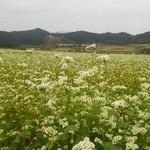笠そば処 - 2014年10月1日満開の蕎麦の花