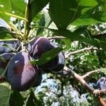 山本観光果樹園 -