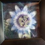 トケイソウ - 本当に動くメカニック時計と間違った。不思議な花