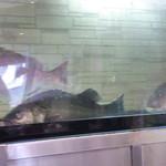33363041 - 大きな鯛が泳ぐ水槽