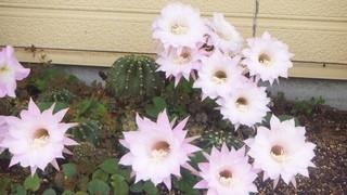 和楽亭 - サボテンの花