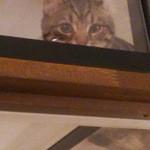 Cafe Chaton Rouge - 看板猫ジッタさん。キャットウォークは完全に客席と分けられた空間。