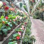 花の下のレストラン - ベゴニアの通路