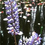 花の下のレストラン - 花が流れる池