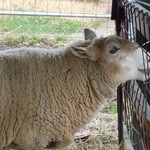 34270474 - 名もない羊さん・・・