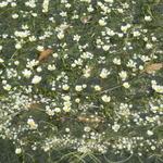 34869034 - 水草の花が満開❀