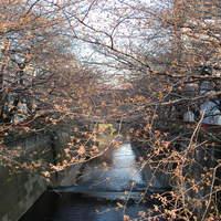 驀仙坊 - 目黒川の桜 (2010.3.22)