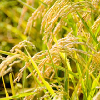 自社田園で作る「滋賀県産有機米コシヒカリ」