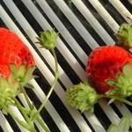 和田観光苺組合 - こんな感じにイチゴがなっておりました