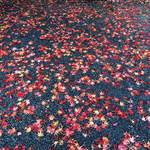 だいどこ やぶれ傘 - 虎渓山の道に落ちた紅葉