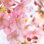 35374170 - 近くの公園には河津桜が咲いている(2015年2月25日)