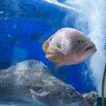 九州男 - 料理写真:入口すぐの生簀!!新鮮な魚介をお愉しみ下さい。