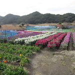 3589542 - お店の近くの花畑です