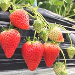 徳田いちご園 - 熟れている苺から、まだまだこれからの苺(#^.^#)
