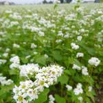 開拓 ふくろふ乃湯 - 近くには蕎麦の花も咲いていた