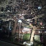 aguriguddomu-n - お店の前の桜