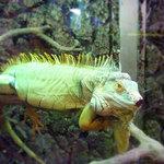 36229588 - 爬虫類スタッフ グリーンイグアナ