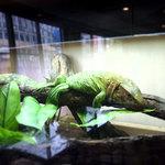 36229610 - 爬虫類スタッフ ギアナカイマントカゲ