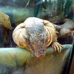 36229651 - 爬虫類スタッフ アルゼンチンレッドテグー
