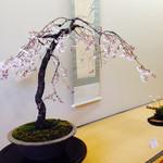 Kiseturyourihiro - 桜のお軸と盆栽