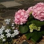 大久ら - お店の前、紫陽花の花が… 早稲品種で今の時期に咲くそうです