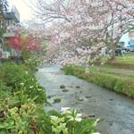 36524463 - 源兵衛川の桜とカラーで癒される