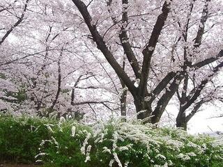 花とみどりの休憩所 - 満開の桜と雪柳☆♪