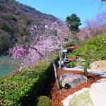 茶寮 八翠 - ホテルの庭の、桜^^