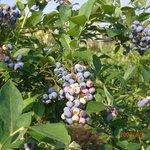 みやもとファーム - みやもとファームの畑では7月下旬から8月中旬までブルーベリー園を開園