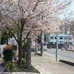 36661443 - お店の前の桜(2015.4.6)
